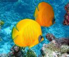 Zitronenfalter fish