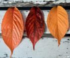 Drei Blätter im Herbst
