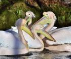 Vier rosa Pelikane