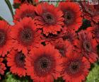 Rote Gänseblümchen