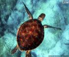 Himmelsfarbene Wasserschildkröte