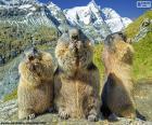 Drei murmeltier alpine