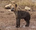 Hyäne Welpe