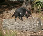 Tasmanischer Dämon