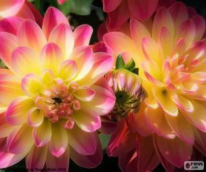 Rosa und gelb Dahlia puzzle