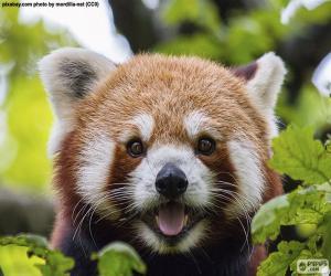 Rotes Kleiner Panda puzzle