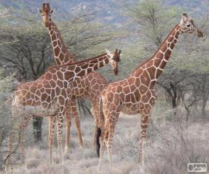 Schöne Giraffen puzzle