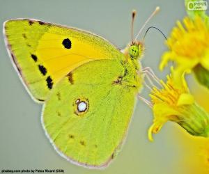 Schmetterling-Kalk puzzle