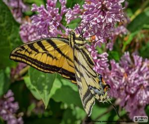 Schmetterling Papilio canadensis puzzle