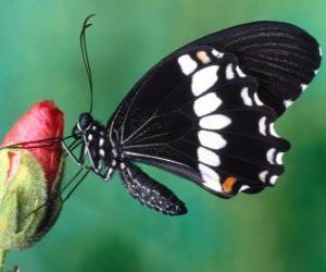 Schmetterling Schwarz puzzle