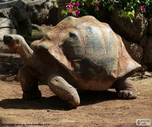 Spornschildkröte puzzle
