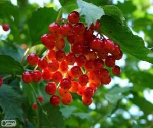 Stechpalme mit seinen roten Früchten puzzle