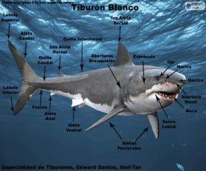 Teile des Weißen Hais puzzle