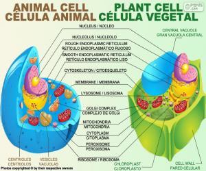 Tierischen und pflanzlichen Zellen puzzle