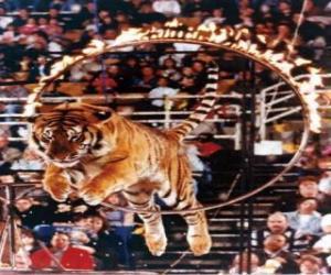 Tiger sprang in einem Kreis des Feuers puzzle