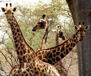 Vier Giraffen puzzle