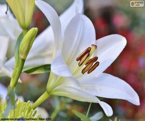 Weiße asiatischen Lilie puzzle