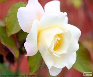 Weiße Rose puzzle