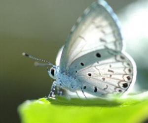 Weißer Schmetterling puzzle