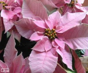 Weihnachten Blume, Rosa puzzle