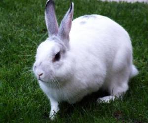 White Rabbit wie der Schnee puzzle