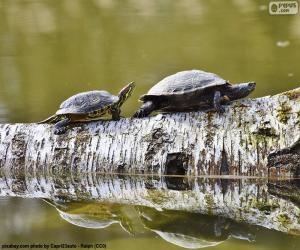 Zierschildkröte puzzle