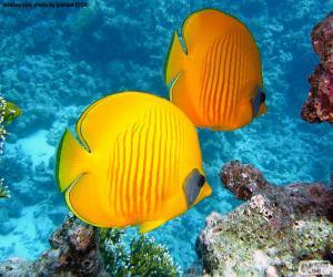 Zitronenfalter fish puzzle
