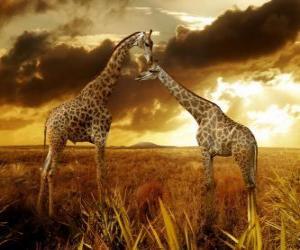 Zwei Giraffen in der Abenddämmerung puzzle