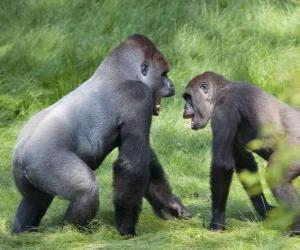 Zwei junge Gorillas gehen auf allen Vieren puzzle