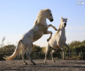 Zwei weiße Pferde puzzle