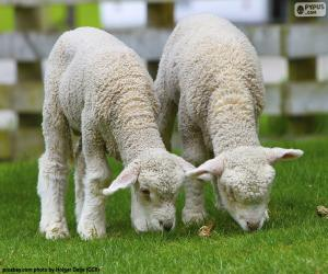 Zwei zarte Schafe puzzle