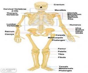 Das Menschliche Skelett Die Knochen Des Menschlichen Körpers